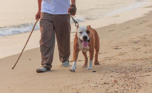 bull-dog-che-passeggia-in-spiaggia