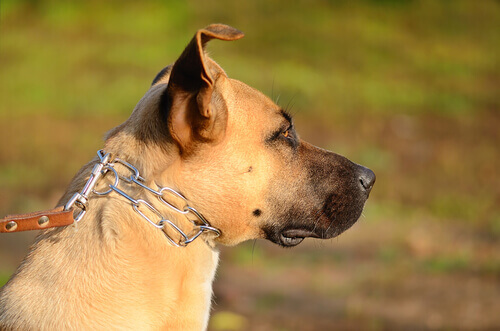Cani alla catena: maltrattamento nascosto