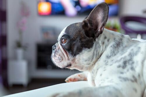La storia del cane che ama vedere i film horror