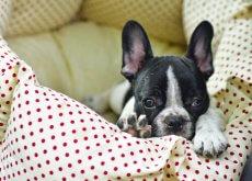 cane fa pipì sul letto