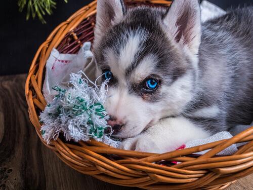 cucciola-in-una-cesta-di-vimini