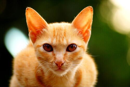 caratteristiche gatti arancioni