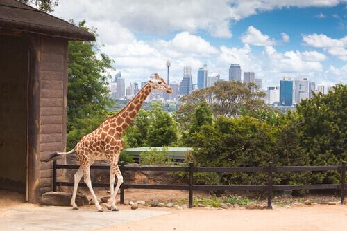 giraffa allo zoo costa rica