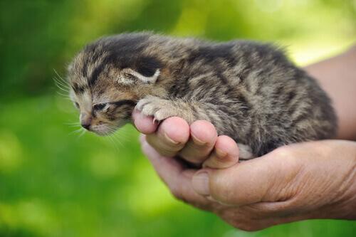 mani-con-cucciolo-di-gatto