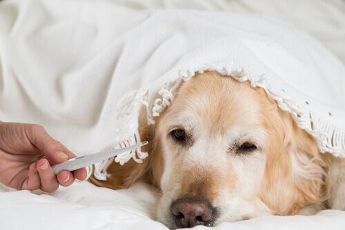 Come mettere il termometro a un cane