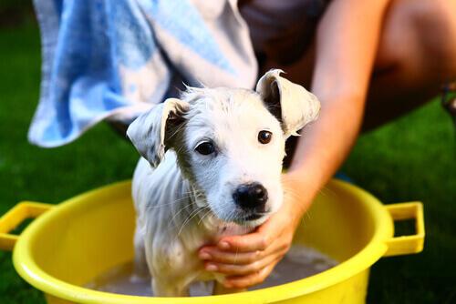 cane viene lavato a causa del cattivo odore
