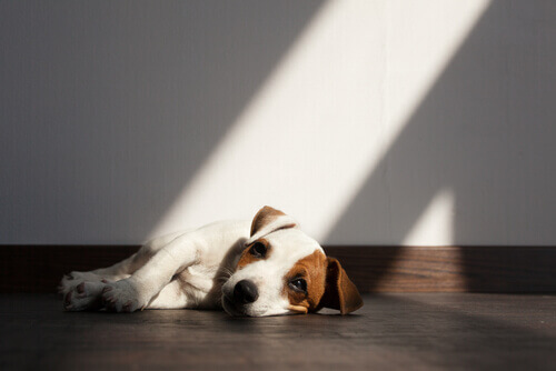 cane soffre di parassiti intestinali