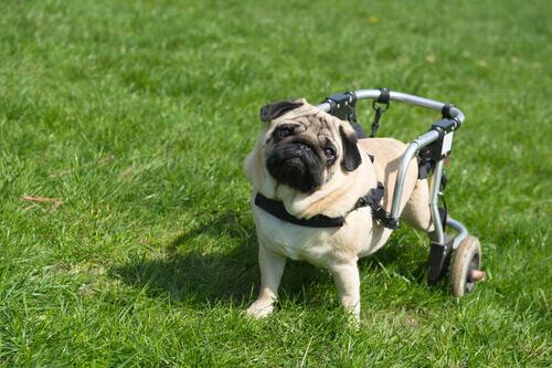 I cani paralitici guariscono grazie alle cellule olfattive