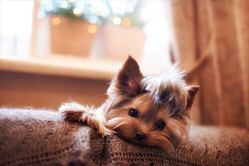 Gravidanza isterica nei cani: esiste davvero?