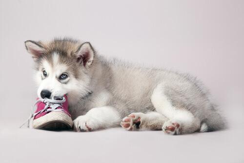 husky-che-morde-una-scarpa