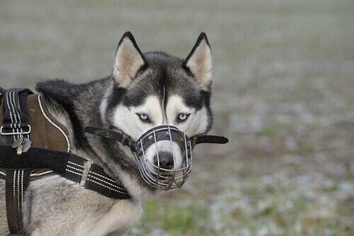 Quando mettere la museruola al cane?