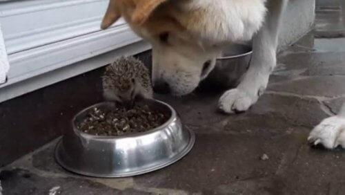 il-riccio-che-tiene-testa-al-cane