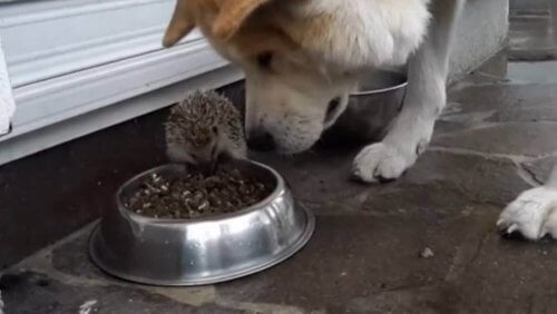 La storia del riccio che tiene testa a un cane