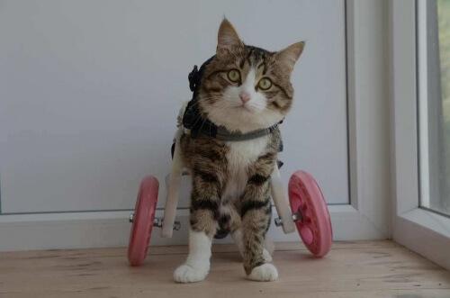 Rexie, il gattino con la sedia a rotelle