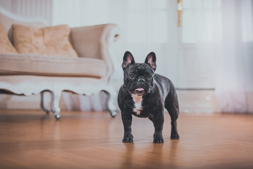 bulldog-frances-casa