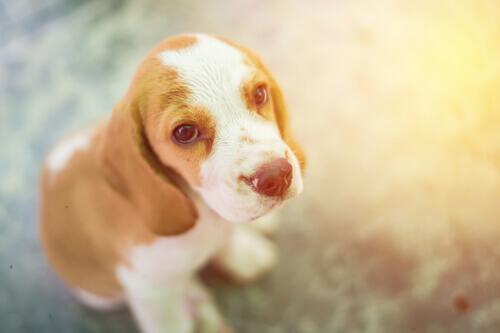 Il cimurro nei cani: sintomi, trattamento e prevenzione