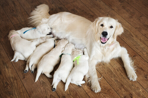 parto-cagna-allatta-cuccioli