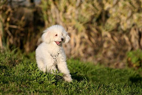 cani di piccola taglia-barboncino