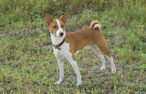 Conosciamo il Basenji, il cane che non abbaia