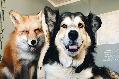 Juniper e Moose, la volpe e il cane che sono diventati amici