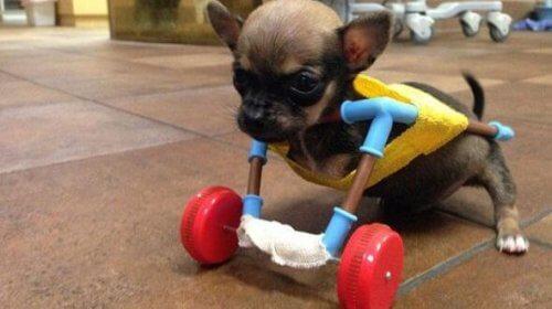 Turbo Roo-il-chihuahua-sulla-sedia-a-rotelle