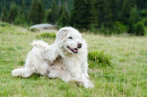 cane e parassiti