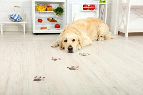 cane-labrador-in-cucina