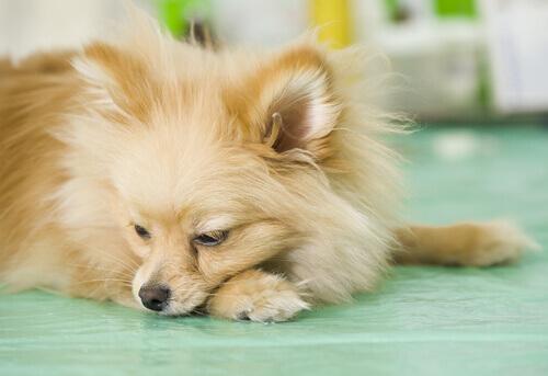Il vomito nel cane: cosa fare se capita troppo spesso?