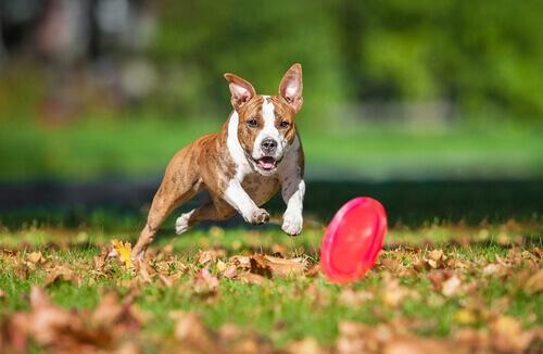 Cane gioca con frisbee