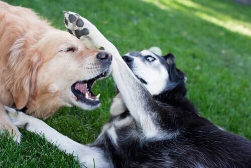 Combattimenti tra cani: maltrattamenti criminali