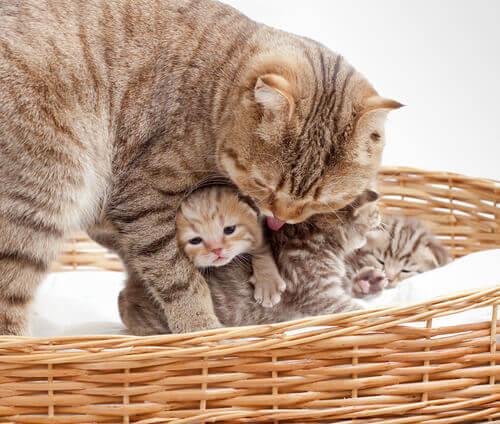 Il parto della gatta: sei sintomi di pericolo