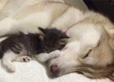 husky-adotta-una-gattina