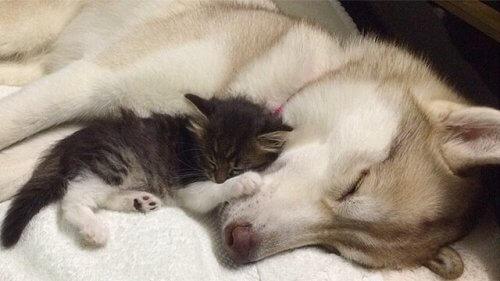Lilo, l'husky che ha adottato una gattina