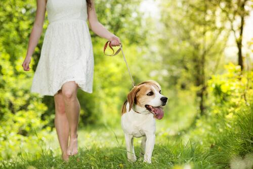 beagle a passeggio nel bosco con la sua padrona