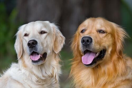 cani con la lingua in fuori