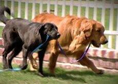 cane cieco salvato da cane guida