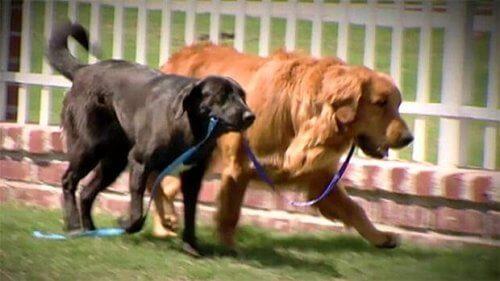 La tenera storia di un golden retriever cieco salvato dal suo cane guida
