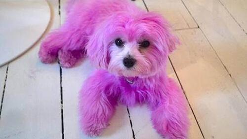 La polizia in cerca dei responsabili che hanno colorato un cane di rosa