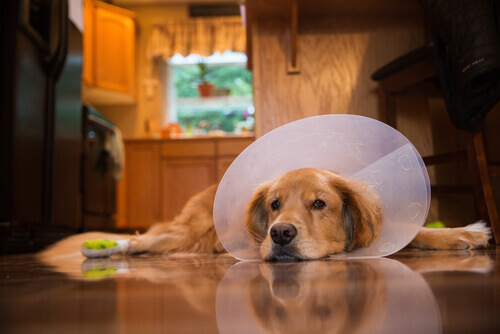 Cure post-operatorie per un cane