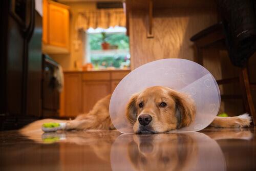 Cure post-operatorie per un cane