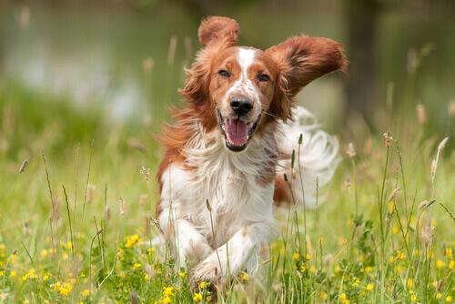 cane felice corre nel prato