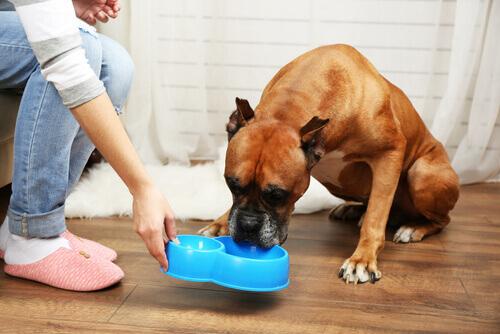 Cane che mangia da ciotola azzurra
