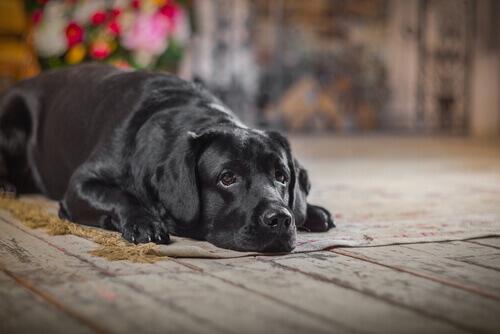 Come capire che il vostro cane sta invecchiando