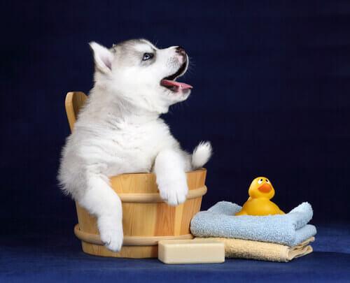 cane-profumato