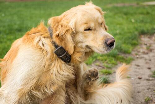 Cosa fare se il vostro cane ha prurito?
