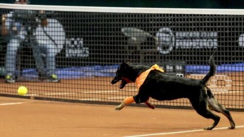cane che lavora durante torneo di tennis e insegue palla gialla