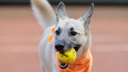 Cani che lavorano per un torneo di tennis
