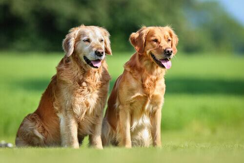 due cagnoline sul prato