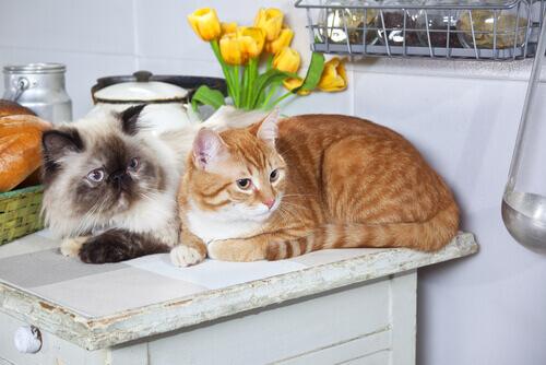 due gatti-in-casa