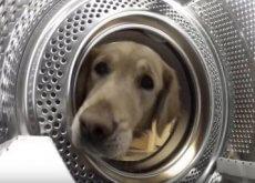 golden-retriever-recupera-il-suo-giocattolo-dalla-lavatrice